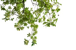 Natural green leaves, white background with clipping paths