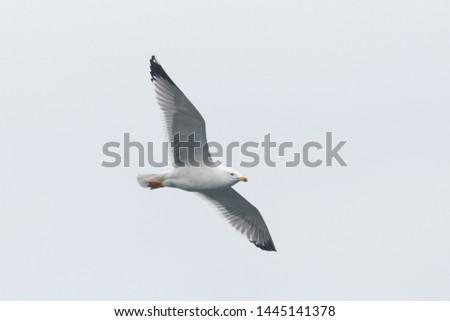 natural isolated flying yellow-legged gull (larus michahellis)