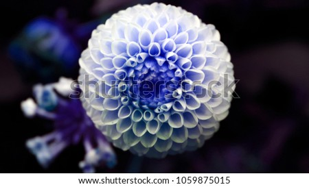 Natural isolated white dahlia flower close-up photo #1059875015