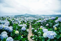 Natural Landscape view of purple Hydrangea flower field (Hydrangea macrophylla) in a garden with mountain in winter at Dalat, Vietnam.