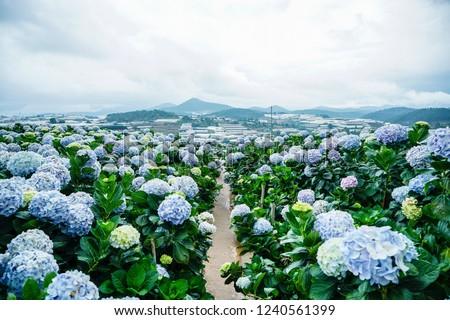 Photo of  Natural Landscape view of purple Hydrangea flower field (Hydrangea macrophylla) in a garden with mountain in winter at Dalat, Vietnam.