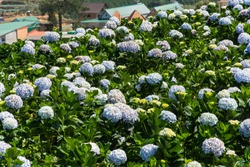 Natural Landscape view of purple Hydrangea flower (Hydrangea macrophylla) in a garden on winter season at Dalat, Vietnam. Hydrangea is a genus of flowering plants native to eastern Asia and Americas