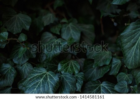 Natural leaf background, natural plant natural leaves #1414581161