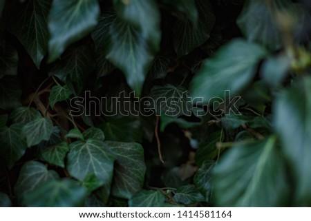 Natural leaf background, natural plant natural leaves #1414581164