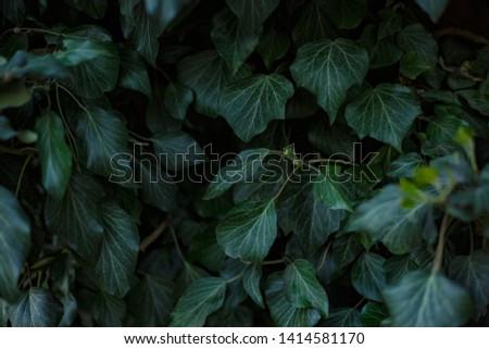 Natural leaf background, natural plant natural leaves #1414581170