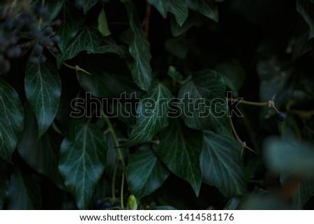 Natural leaf background, natural plant natural leaves #1414581176