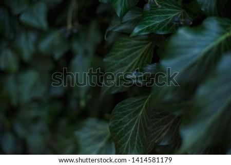Natural leaf background, natural plant natural leaves #1414581179