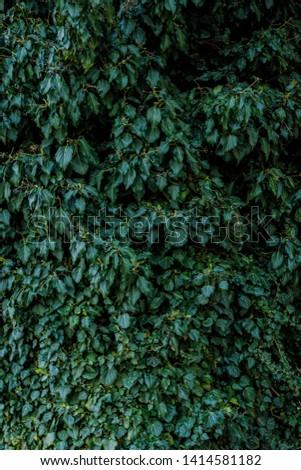 Natural leaf background, natural plant natural leaves #1414581182