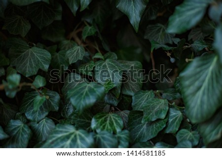 Natural leaf background, natural plant natural leaves #1414581185