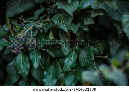 Natural leaf background, natural plant natural leaves #1414581188