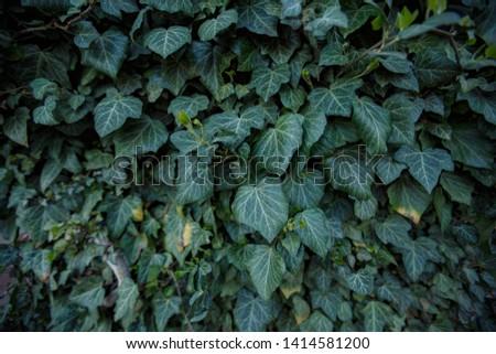 Natural leaf background, natural plant natural leaves #1414581200