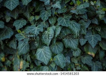 Natural leaf background, natural plant natural leaves #1414581203
