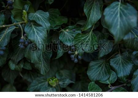 Natural leaf background, natural plant natural leaves #1414581206