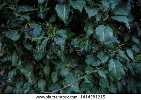 Natural leaf background, natural plant natural leaves #1414581215