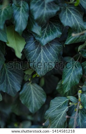 Natural leaf background, natural plant natural leaves #1414581218