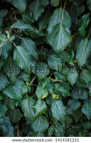 Natural leaf background, natural plant natural leaves #1414581221