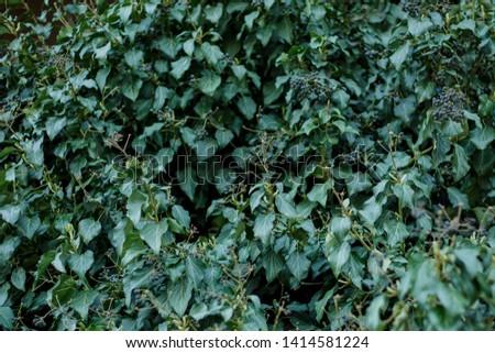 Natural leaf background, natural plant natural leaves #1414581224