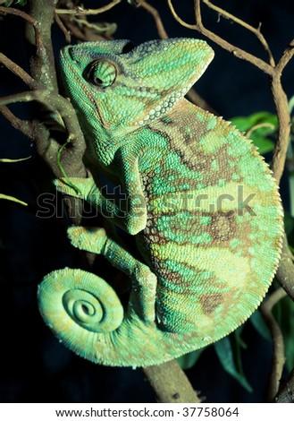natural life, chameleon on the tree