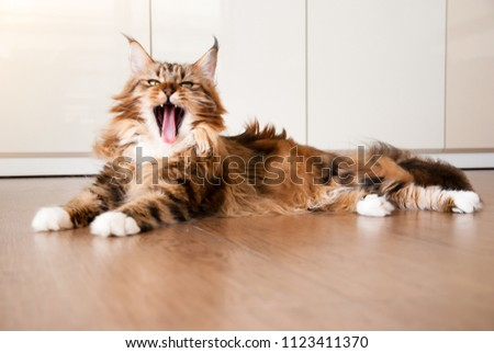 Natural lighting and shadow of blur Maine coon cat sunbathing on wooden floor in bedroom background with copy space. adorable cat background. lovely pet in family concept. #1123411370
