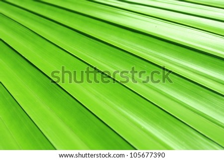 Natural line of theLicuala spinosa palm leave