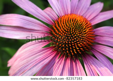 Natural medicine coneflower Echinacea purpurea closeup