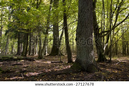 Natural mixed stand of Bialowieza Forest in Bialowieza National Park with old spruce in foreground and old hornbeams on background