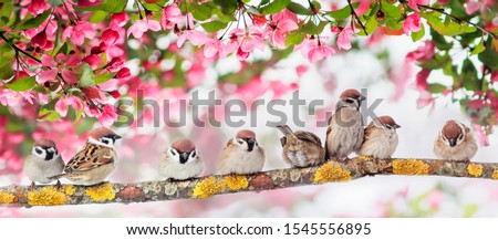 natural panoramic background with many small funny birds sparrows sitting in the spring Sunny Park under the branches of a flowering Apple tree with pink buds stock photo