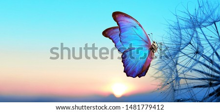 Photo of  Natural pastel background. Morpho butterfly and dandelion. Seeds of a dandelion flower in droplets of dew on a background of sunrise. Soft focus. Copy spaces.