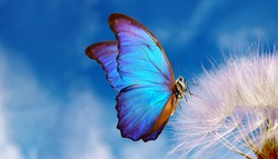 Natural pastel background. Morpho butterfly and dandelion. Seeds of a dandelion flower on a background of blue sky with clouds. Copy spaces