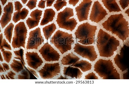 Natural pattern of giraffe fur in detail