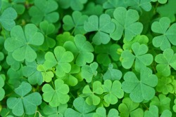 natural plant green background of small wild clover