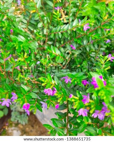 Natural plant of Cuphea hyssopifolia, the false heather, Mexican heather, Hawaiian heather or elfin herb #1388651735