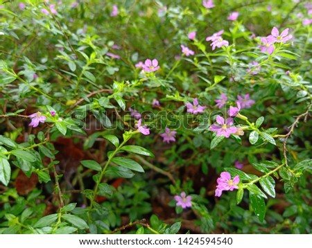 Natural plant of Cuphea hyssopifolia, the false heather, Mexican heather, Hawaiian heather or elfin herb,A small shrub radiates a low slung a Brown stem. Dark green leaves with a pointed spear shape. #1424594540