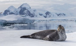 Natural predators of Antarctica region is leopard seal. Relax animal lying on the ice.