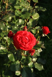 Natural red rose on bushes in the garden. Romance
