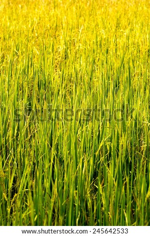 natural rice field with close-up and color process