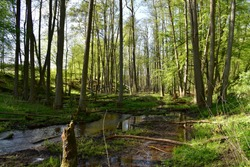 Natural riparian forest composed of  common alder (Alnus glutinosa) trees. The Sources of the Lyna River Nature Reserve (Polish: