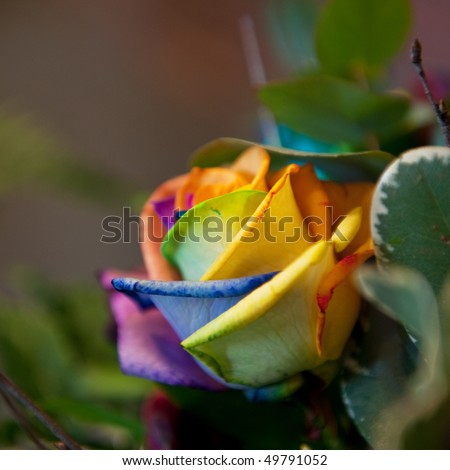 Natural rose in exotic bizarre colors grown stock photo for Natural rose colors