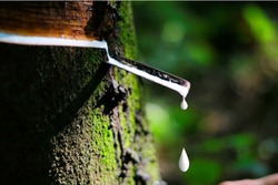 Natural rubber latex is dropping to rubber container or bowl from rubber tree with green moss