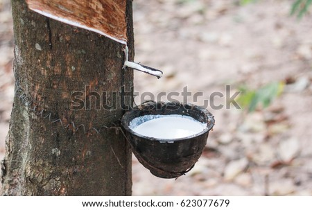 Natural rubber latex trapped from rubber tree #623077679