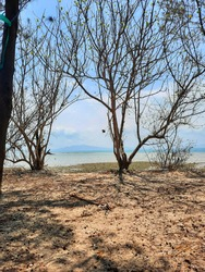 Natural Scenery of Barren Trees and Branches in Seashore of Small Island with Beautiful Blue Sky and Warm Sand as Background