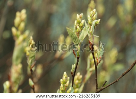 Natural seasonal spring eco background: pattern of apple-tree branches with young  foliage with defocused green garden backdrop. Can be used as a wallpaper or postcard.