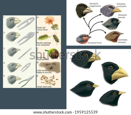 Natural selection and adaptation. Darwin's theories. Adaptive varieties of finches in the Galapagos Islands. Stock foto ©