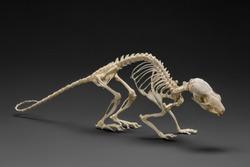 Natural skeleton of rat. Handbook on zoology of rodents. Studio shot on dark background.
