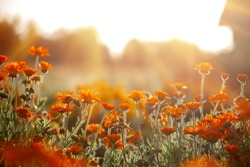 Natural summer background orange field flowers in the morning sun rays with soft blurred focus