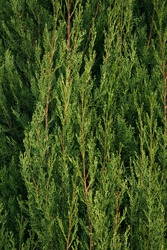 Natural texture and pattern. Closeup view of a Cupressus sempervirens Stricta, also known as Italian cypress tree, beautiful green foliage.