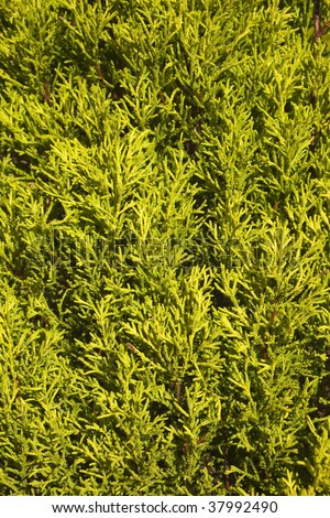 natural texture of a golden cupressus in the sunshine