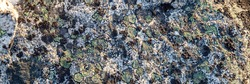 Natural texture of a stone covered with lichen. Lichenes patterns on a rock surface. Natural background. Closeup top view. The nature of the Arctic. Polar region.