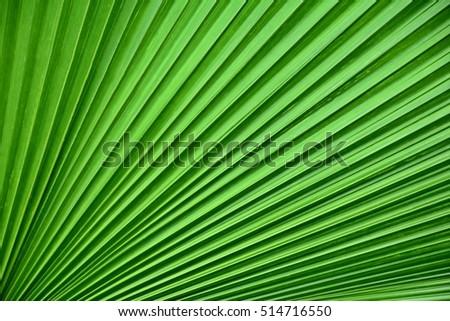 natural texture of pleated green leaf, Vanuatu Fan Palm ストックフォト ©