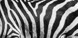 Natural texture of the zebra skin. Natural black and white striped background.